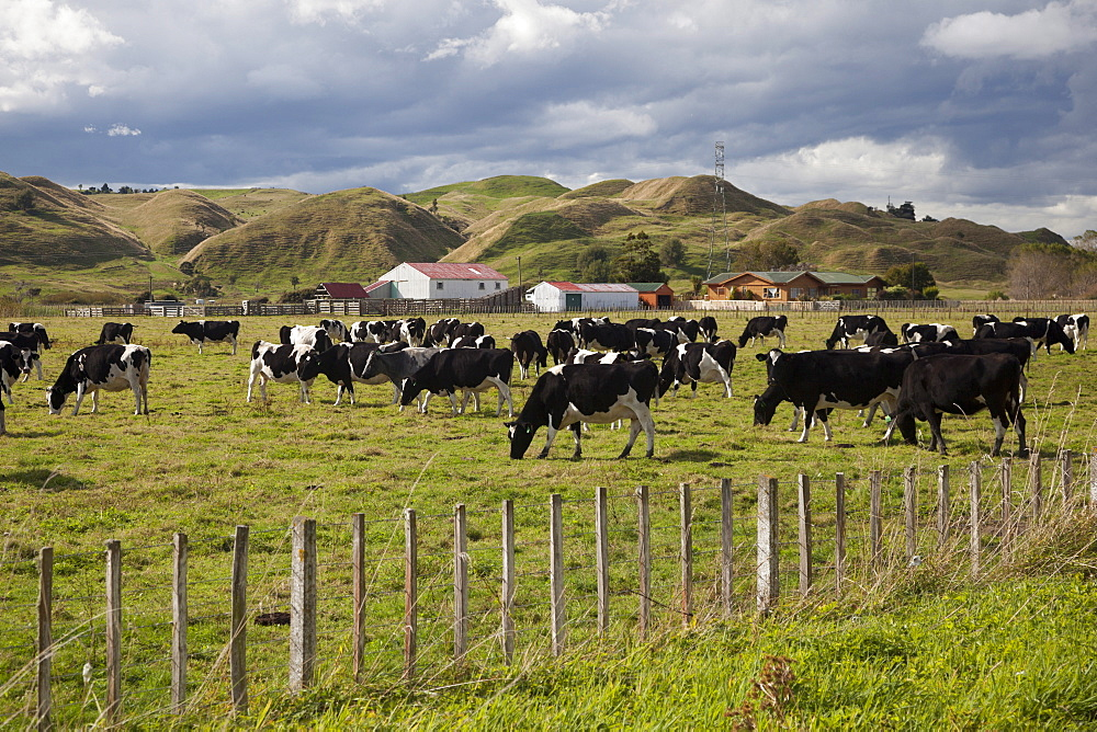 Friesian dairy cows, Turakina Valley near Whanganui, New Zealand, Pacific