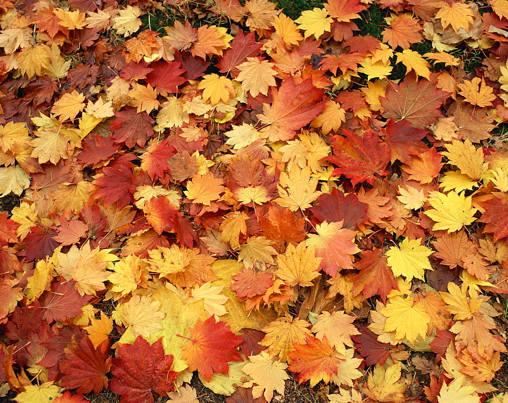 Carpet of autumn leaves - 505-9
