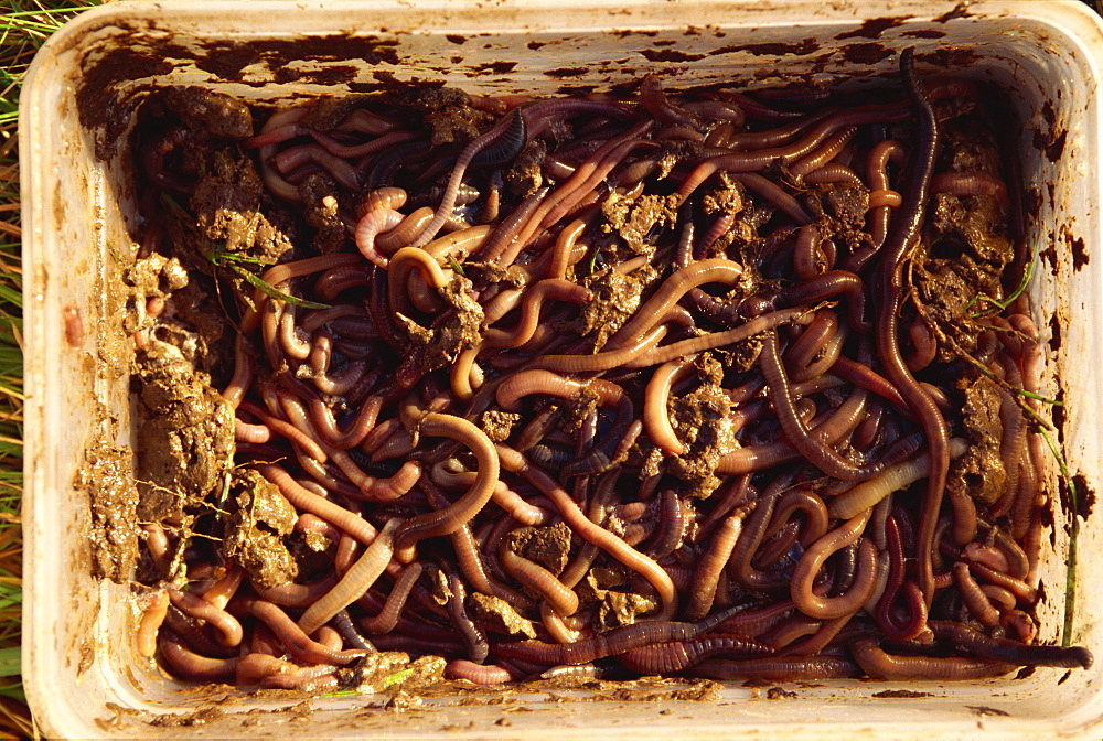 Worms used as bait by molecatcher, United Kingdom, Europe - 508-46114