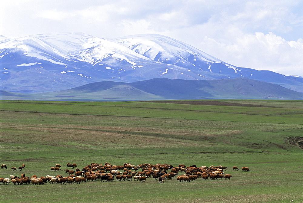 Flock of sheep, northeast coast of Lake Van, Van area, Anatolia, Turkey, Asia Minor, Eurasia