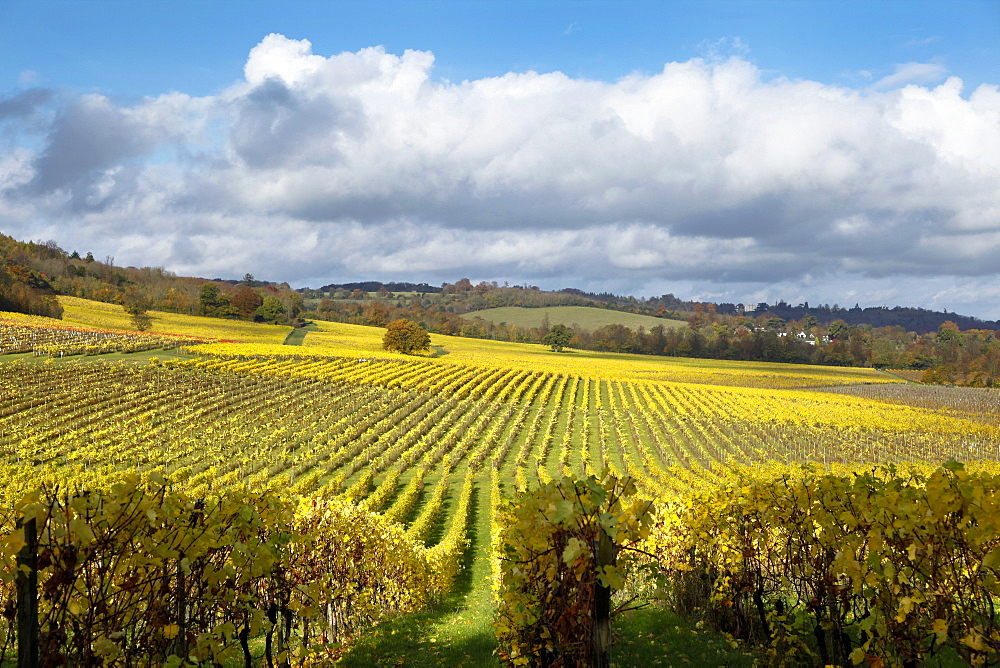 View over autumn vines at Denbies Vineyard, near Dorking, Surrey, England, United Kingdom, Europe - 526-3739