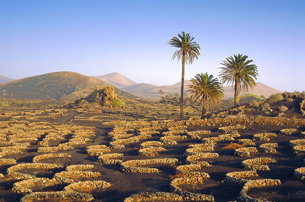 Palm trees and cultivation in volcanic soil,  Lanzarote, Canary Islands, Spain - 526-594