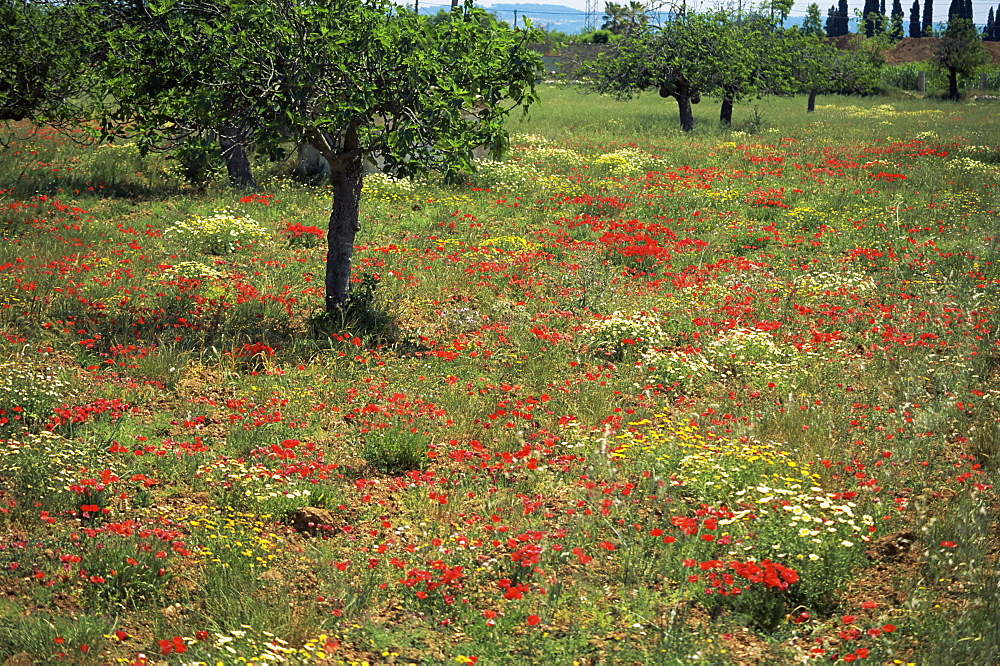 Poppies, Majorca, Balearic Islands, Spain, Europe