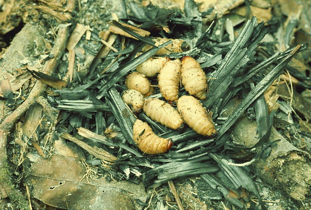 Sago grubs, to be eaten, Irian Jaya, Indonesia, Southeast Asia, Asia - 54-4875