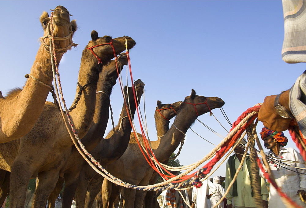 Camels at the Pushkar Mela, the camel and cattle fair for semi nomadic tribes, Pushkar, Rajasthan state, India, Asia