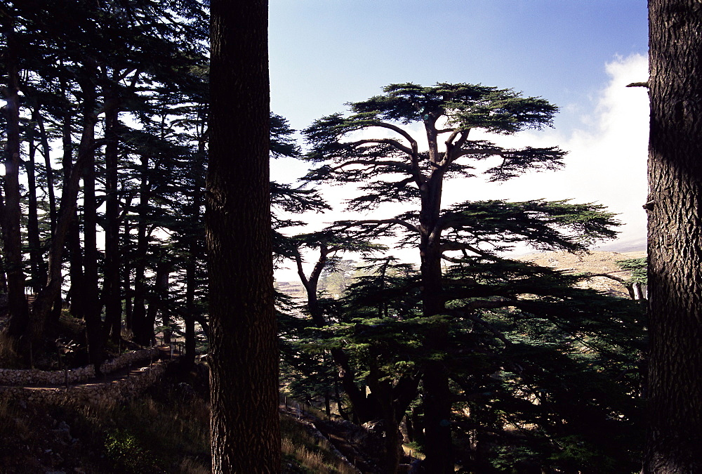The last remaining forest of biblical cedars in Lebanon, Cedar Forest, Lebanon, Middle East