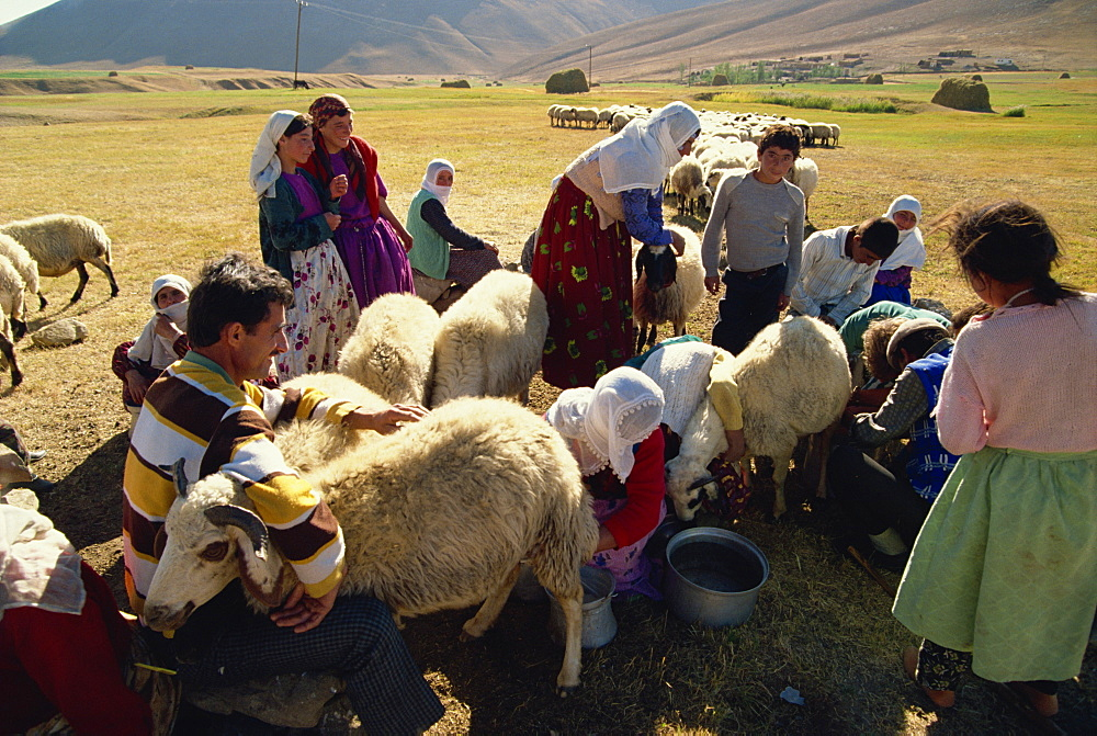 Milking sheep, Kurdistan, Anatolia, Turkey, Asia Minor, Eurasia - 574-363