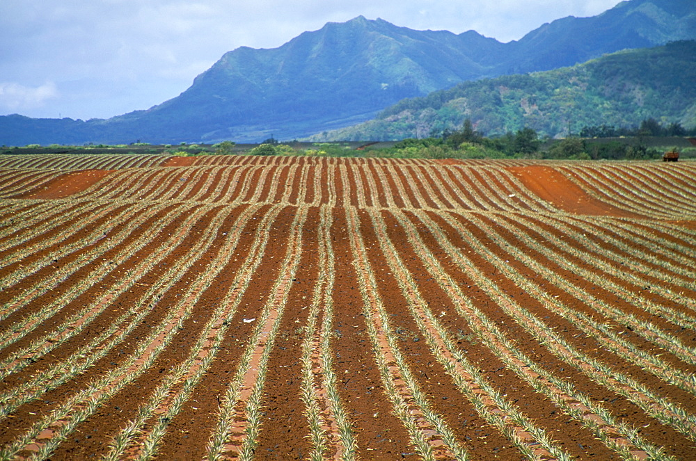 Fields of pineapples owned by Delmonte, Oahu, Hawaiian Islands, United States of America, North America