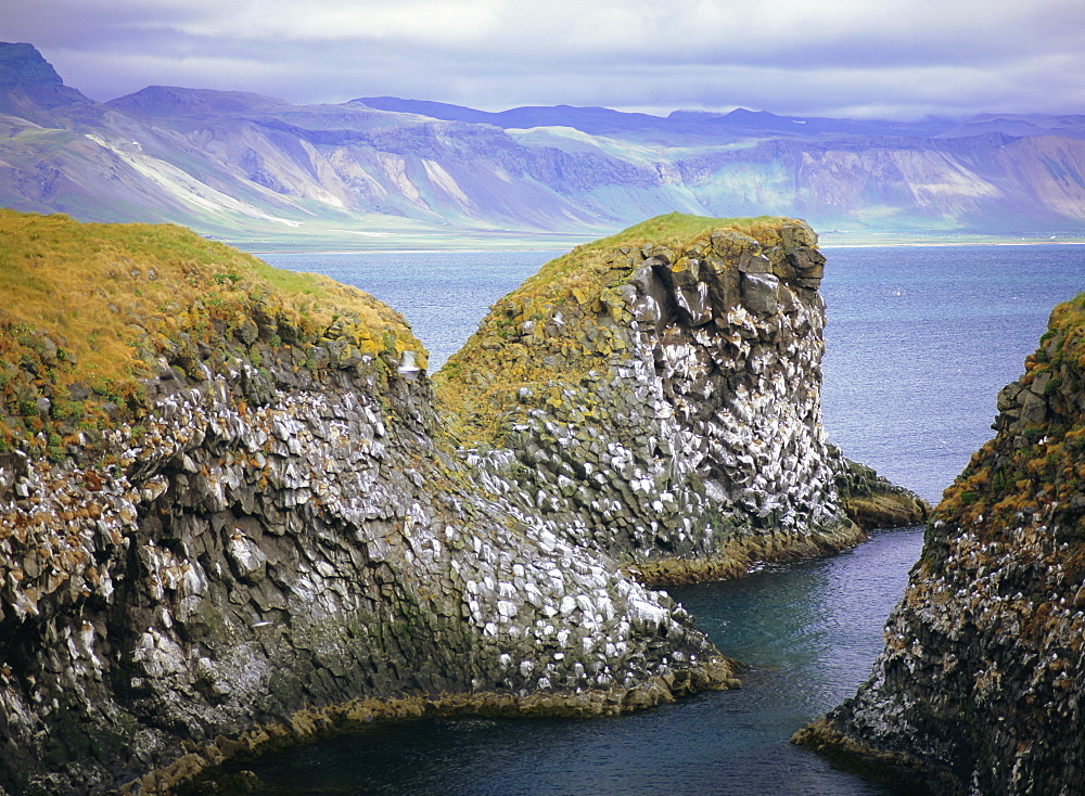 Sea cliff nesting sites in the columnar basalt for sea birds such as kittiwake (Rissa tridactyla), Arnarstapi, Iceland - 586-1296