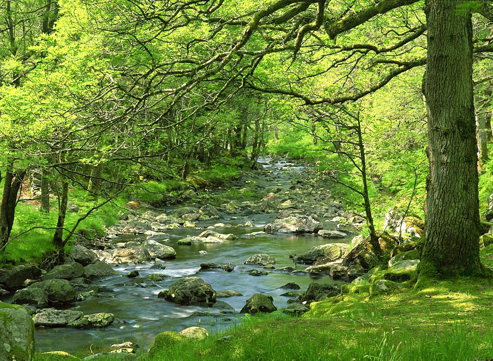 Afon Artro passing through natural oak wood, Llanbedr, Gwynedd, Wales, United Kingdom, Europe - 586-514