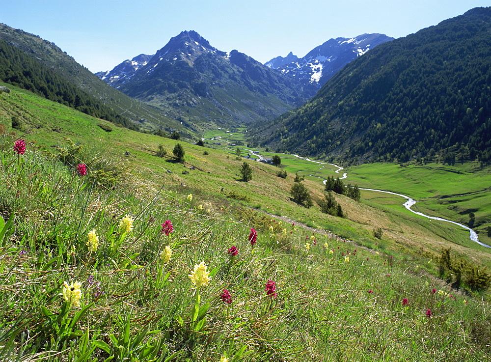 Wild orchids (Dactyorhiza sambucina), Vall d'Incles, Soldeu, Andorra, Europe