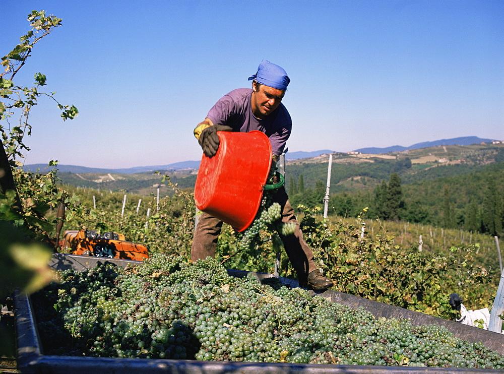 Harvesting grapes in the Chianti Classico region, Castelo Brolio Estate, Tuscany, Italy, Europe - 59-2026