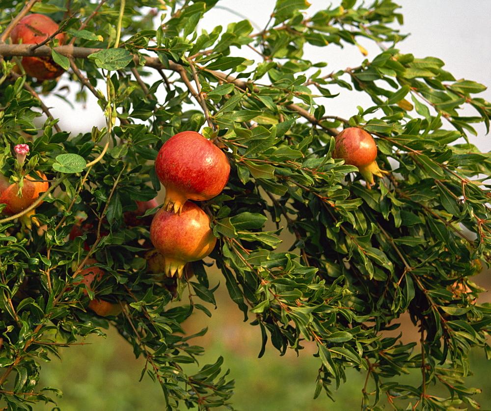 Pomegranates, Cappadocia, Anatolia, Turkey, Asia Minor, Eurasia - 59-2164
