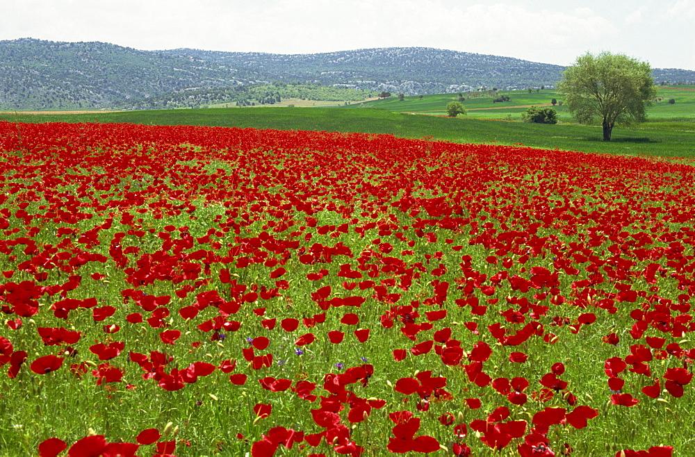 Spring flowers near Beysehir, Anatolia, Turkey, Asia Minor, Eurasia - 59-3015