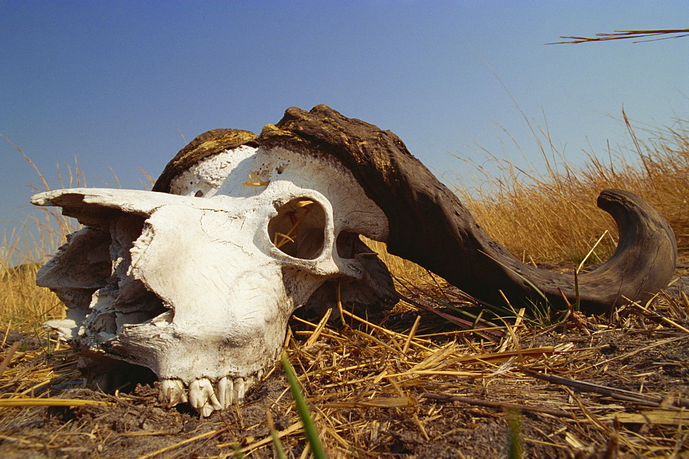 Skull of Cape buffalo (Syncerus caffer), Kruger National Park, South Africa, Africa - 607-127