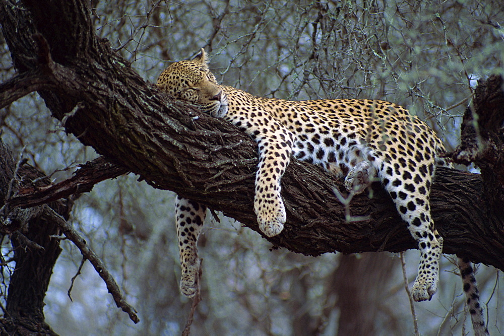 Close-up of a single leopard ( Panthera pardus ), asleep in a tree, Kruger National Park, South Africa, Africa