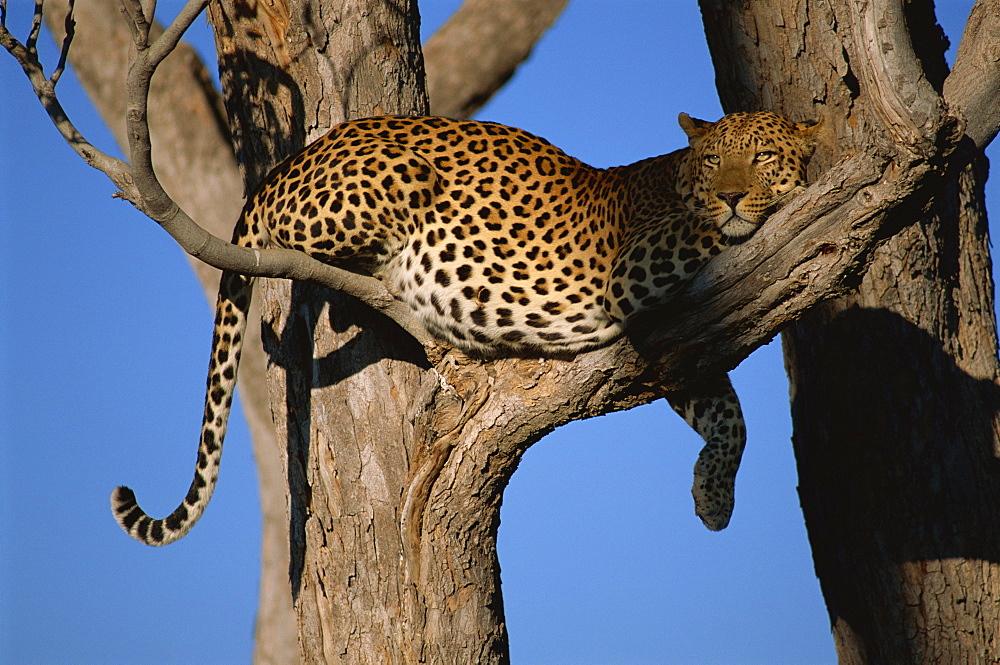 Leopard (Panthera pardus) in tree, Okavango Delta, Botswana, Africa - 607-46