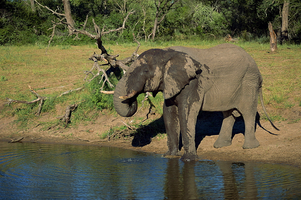 African elephant on the edge of water, Kruger National Park, South Africa, Africa - 607-62