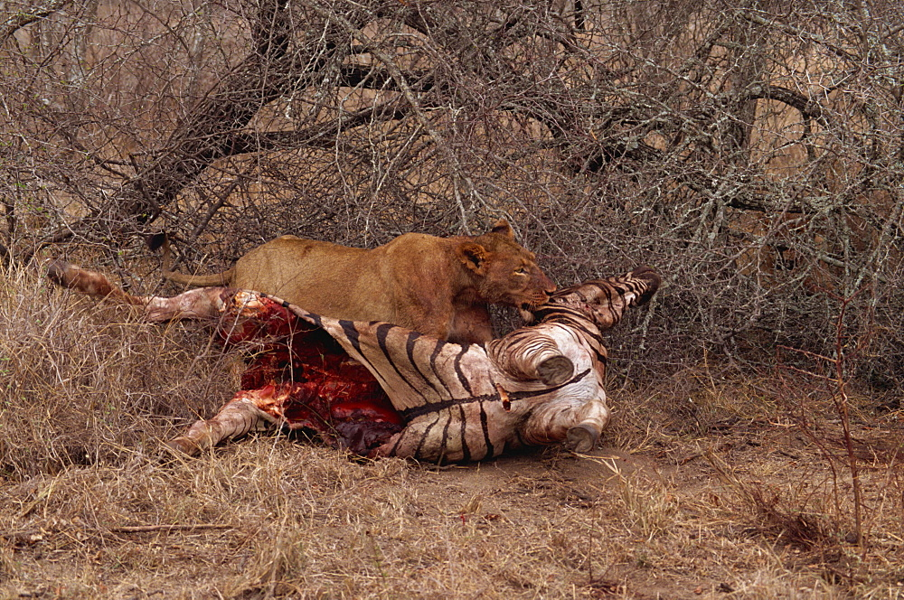 Lion (Panthera leo) with prey, Kruger Park, South Africa, Africa - 607-65