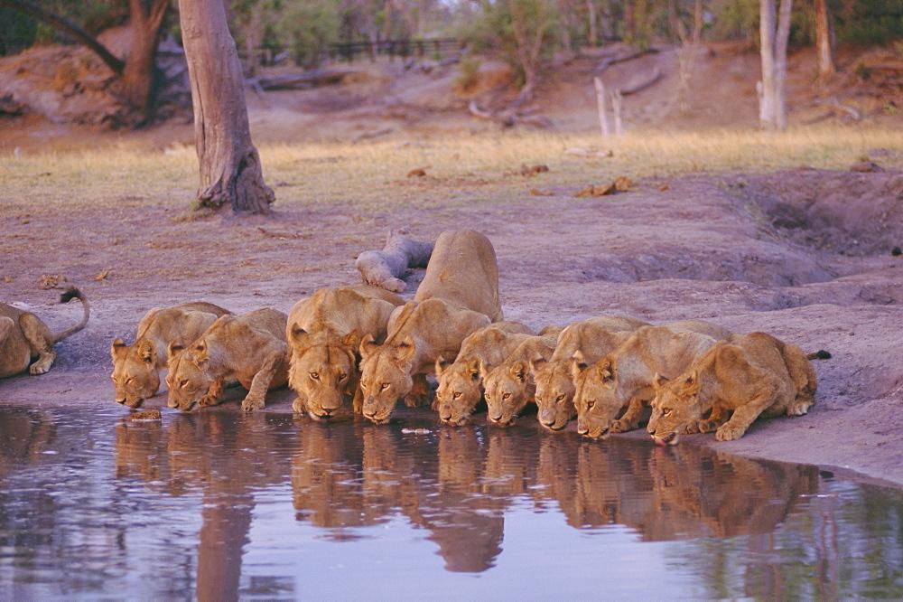 Lions drinking at Okavango Delta, Botswana