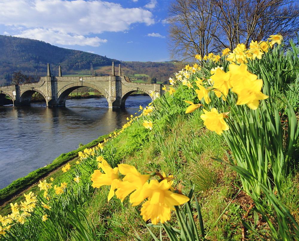 Daffodils by the River Tay and Wade's Bridge, Aberfeldy, Perthshire, Scotland, UK, Europe