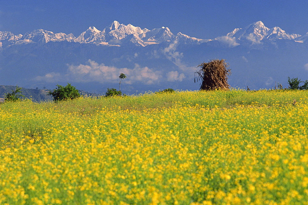 Landscape of yellow flowers of mustard crop and the snow-capped Himalayas in the background, seen from Dhulikhel, Kathmandu, Nepal, Asia