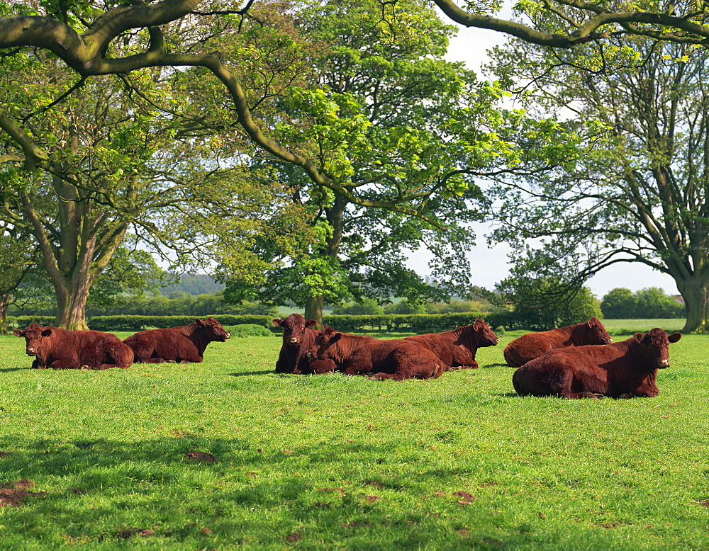 Lincoln Red herd of cattle, Donington-on-Bain, Lincolnshire, England, United Kingdom, Europe