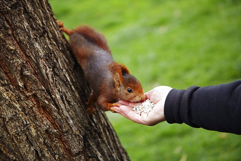 Feeding red squirrel in Parque del Retiro, Madrid, Spain, Europe
