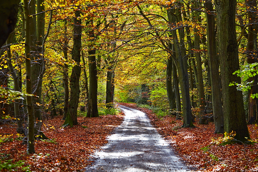 Burnham Beeches, Buckinghamshire, England, United Kingdom, Europe - 627-1243