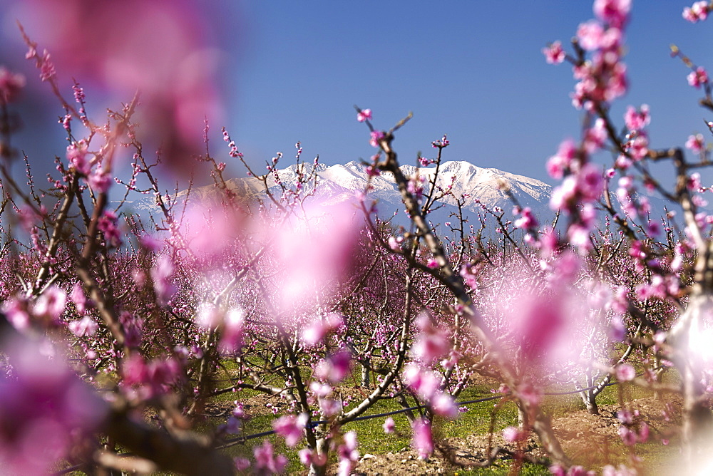 Fruit blossom, Mount Canigou, Pyrenees Oriental, Languedoc-Roussillon, France, Europe - 627-1271