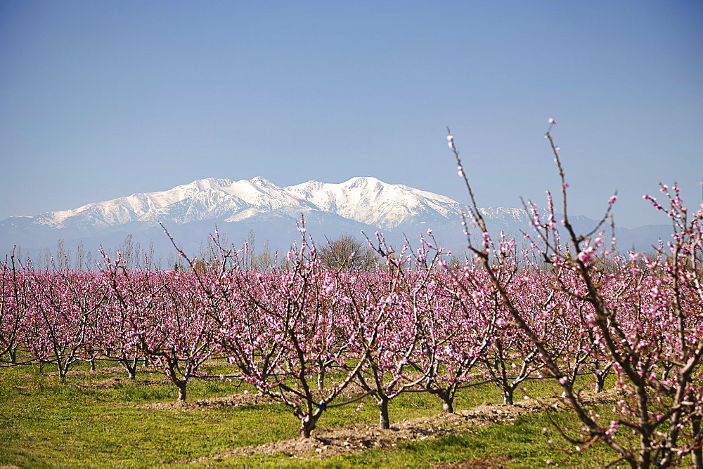 Fruit blossom, Mount Canigou, Pyrenees Oriental, Languedoc-Roussillon, France, Europe - 627-1272