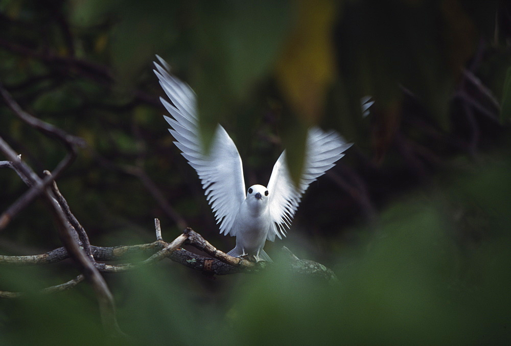 Fairy tern, Henderson Island, Pitcairn Group