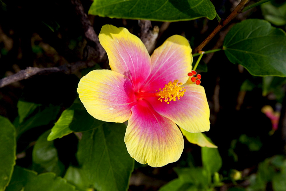 Yellow and red hibiscus, Kauai, Hawaii, United States of America, North America
