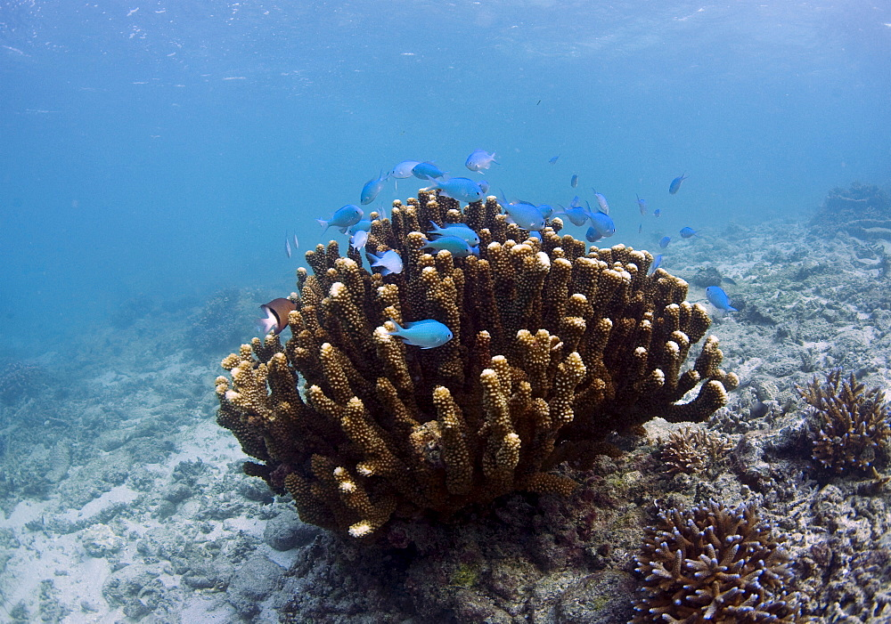 Scuba diving, Fiji, Pacific