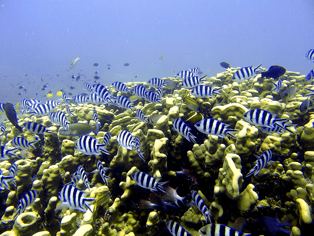 Scuba diving, Mamanucas, Fiji, Pacific