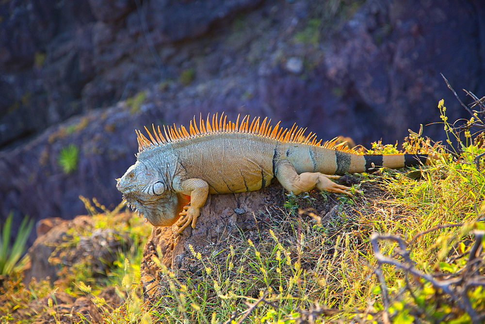 Iguana, Costalegre, Jalisco, Mexico, North America - 632-5468
