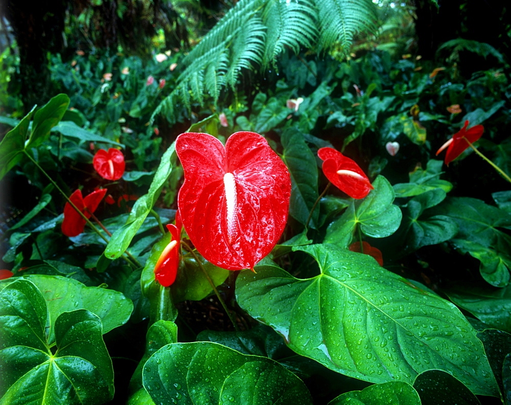 Anthurium flowers, Hawaii, United States of America, Pacific - 632-5563