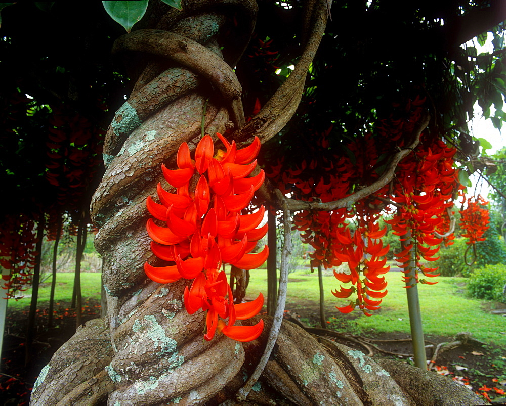 Red Jade vine, Hawaii, United States of America, Pacific - 632-5586