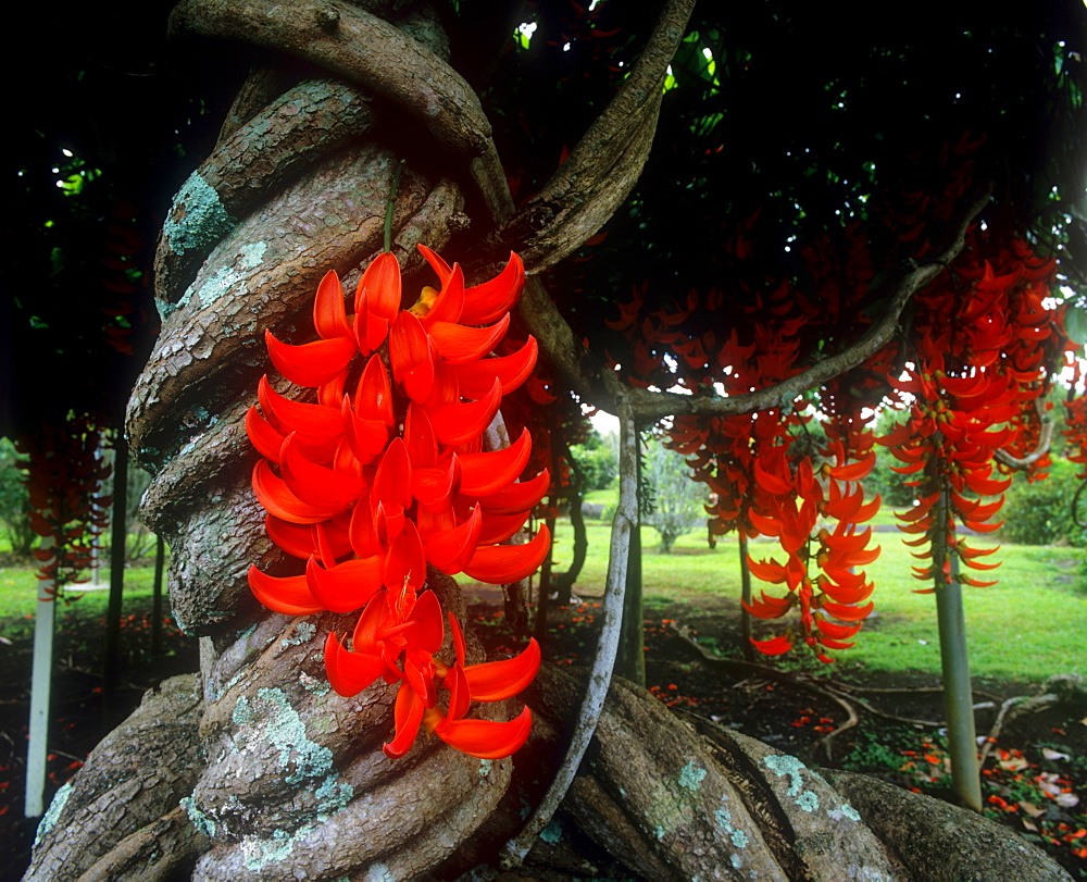 Red Jade vine, Hawaii, United States of America, Pacific