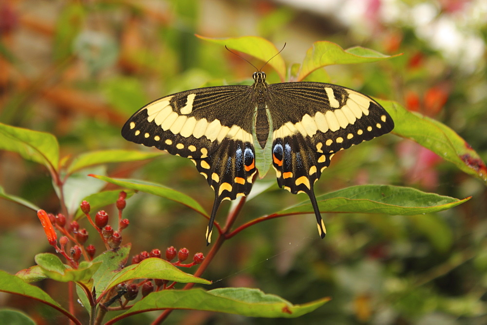 Swallowtail Butterfly (Papilionidae) - 64-1354