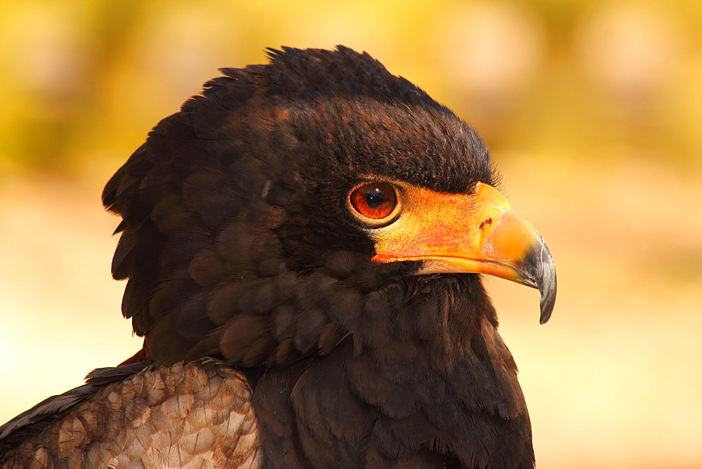 Bateleur (Terathopius ecaudatus) is a medium-sized eagle in the bird family Accipitridae, resident in Sub-Saharan Africa, in captivity in the United Kingdom, Europe - 64-1364