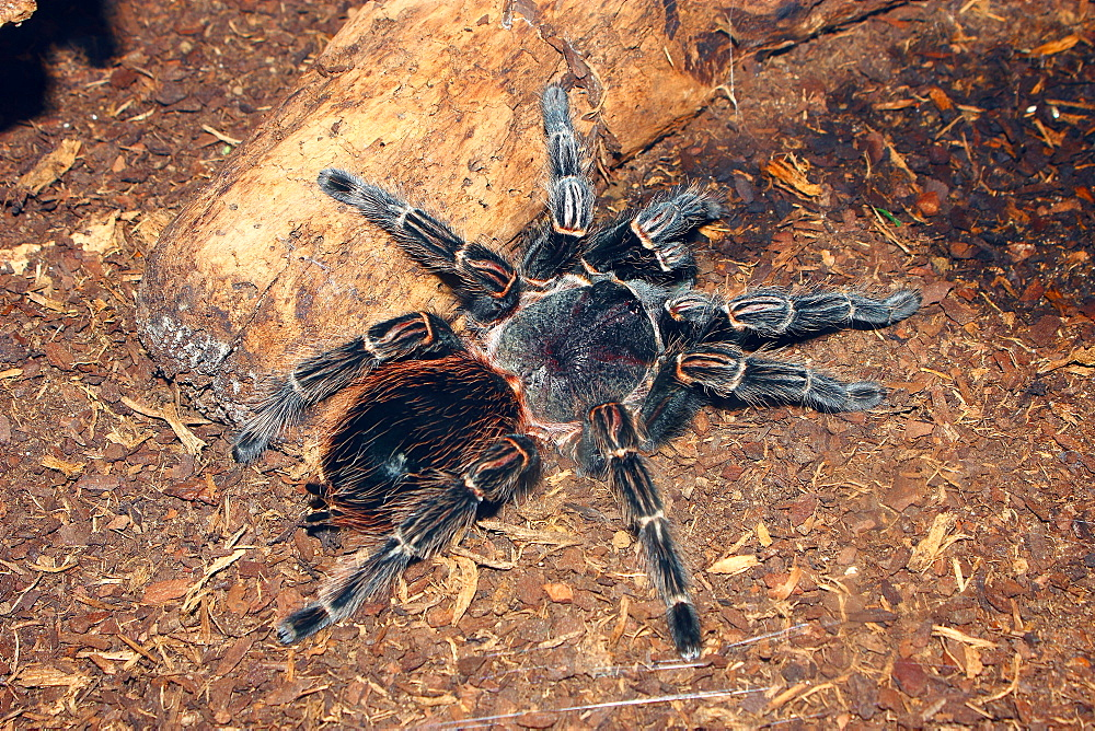 Brazilian salmon pink bird-eating tarantula (Lasiodora parahybana) originating from northeastern Brazil, South America - 64-1369