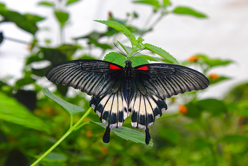 Great Mormon (Papilio memnon), a large butterfly belonging to the swallowtail family, found in southern Asia - 64-1371
