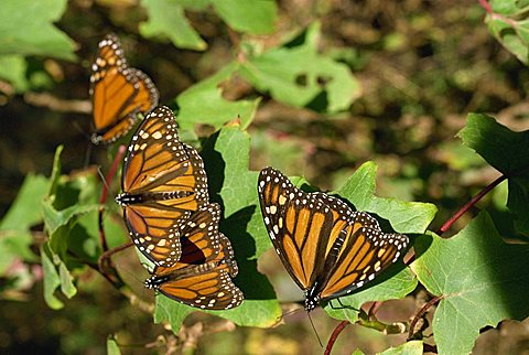 Monarch butterflies in Mexico, North America - 640-1089