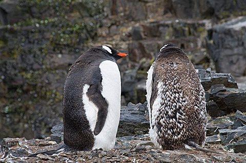 Moulting gentoo penguins, Hannah Point, Livingstone Island, South Shetland Islands, Polar Regions
