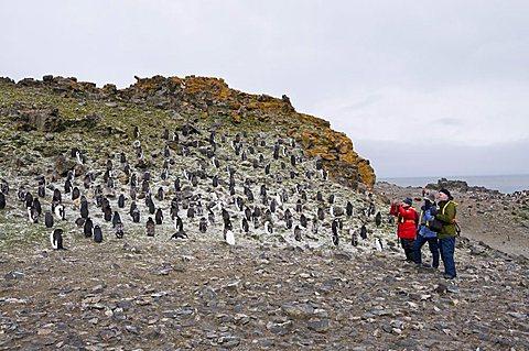 Moulting chinstrap penguins, Hannah Point, Livingstone Island, South Shetland Islands, Polar Regions