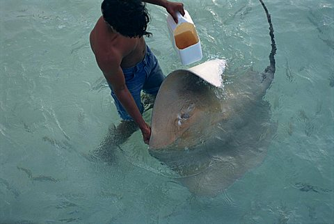 Sting rays, Nakatchafushi, Maldive Islands, Indian Ocean, Asia