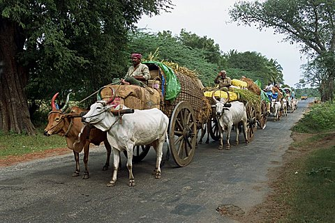 A line of bullock carts on a country road, the main transport for local residents, Tamil Nadu, India, Asia