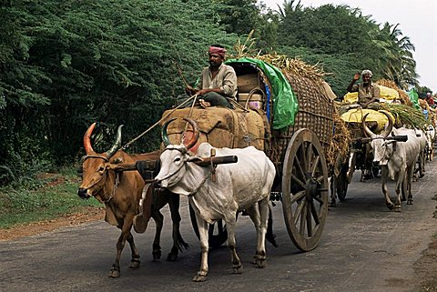 Bullock carts are the main means of transport for local residents, Tamil Nadu state, India, Asia