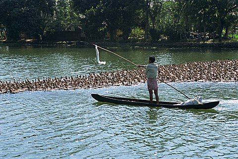Man in a boat herds ducks from the water onto the rice fields for fattening, typical backwater scene, Kerala, India, Asia